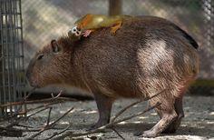15 fotos que provam que a capivara é o animal mais simpático da natureza