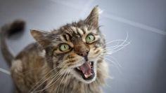 Why Do Cats Meow, Cicats