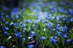 Cebulica. Scilla. Niebieskie Kwiaty - fototapeta