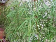 Bambú lindão