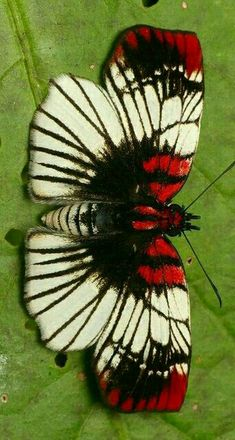 Pretty butterfly, Haemactis sanguinalis or albamarita? Butterfly Template, Butterfly Crafts, Butterfly Flowers, Cool Insects, Bugs And Insects, Beautiful Bugs, Beautiful Butterflies, Beautiful Creatures, Animals Beautiful