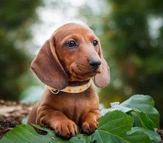 Bandscheibenvorfall beim Hund - Bandscheibenprobleme vorbeugen und erkennen Yorkshire Terrier, Beagle, Dachshund Breed, Short Dog, Most Popular Dog Breeds, Lhasa Apso, Small Dogs, Labrador, Puppies