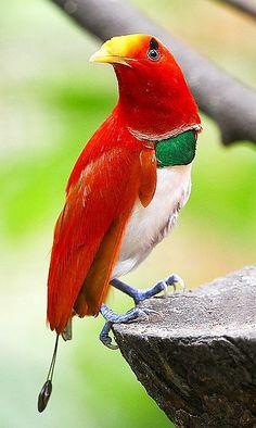 King Bird Of Paradise / Cicinnurus regius / Paradisier royal : Le Paradisier royal est une espèce de passereaux de la famille des paradiséidés, la famille des paradisiers ou oiseaux de paradis. Distribution discontinue à travers la Nouvelle-Guinée avec les îles de l'ouest de la Nouvelle-Guinée Occidentale. Wikipédia Plus