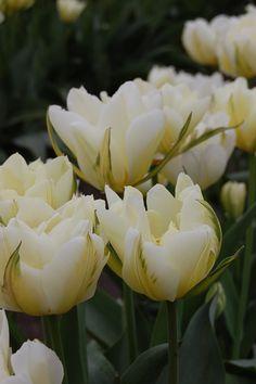 Skagit Valley Tulips 4/12