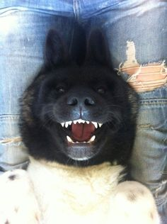 This pic sums up my love for akitas!