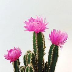 | PINK PRICKLES |  by neonandnest