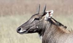 Image result for nilgai portrait