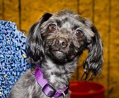 Skeeter is an adoptable Poodle Dog in Austin, TX.  ...