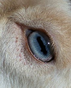 Nigerian Dwarf goat eye ....many Nigi's have blue eyes, which I LOVE! Our family hopes to get one doe with blue eyes and another with brown. :)