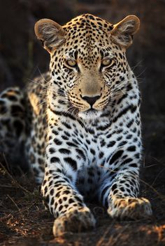 Makepisi Male Leopard: Second Sighting | Flickr - Photo Sharing!