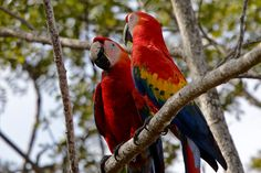 https://flic.kr/p/m2cgXY | Scarlet Macaw | Carara National Park, Costa Rica