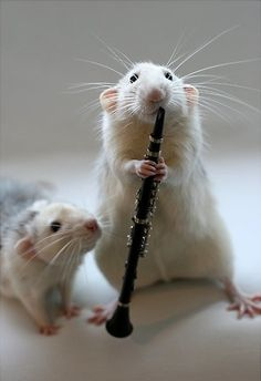 Wish my rats could play clarinet. They could play with me. Funny Rats, Funny Hamsters, Cute Rats, Cute Baby Animals, Animals And Pets, Funny Animals, Pet Mice, All Gods Creatures, Rodents