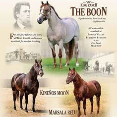 For the first time in 30 years, all King Ranch stallions are available for outside breeding! Stallions include: The Boon, Kineños Moon, and Marsala Red. #QuarterHorse