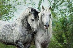 Beautiful dapple grey Andalusians