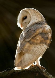 Barn Owl , what a beautiful picture. Beautiful Owl, Animals Beautiful, Owl Bird, Pet Birds, Animals And Pets, Cute Animals, Photo Animaliere, Owl Pictures, All Nature