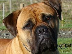 Pictures of american bullmastiff