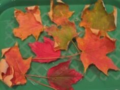 Cruncy Leaf Science-observing and describing leaves as they are off of the tree