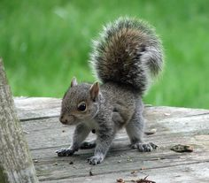 Cute tiny baby squirrel looking for nuts on a wooden porch