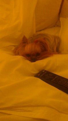 Even the dogs love it! Westin Heavenly Bed, Yorkie, Dog Love, Sweet Home, Dogs, Yorkies, House Beautiful, Pet Dogs, Yorkshire Terrier