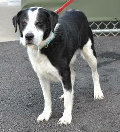Gummer is about 10 to 12 years old, we think.  He weighs 50 lbs.  His breed mix is a mystery, but he may also have some Springer Spaniel in his mix.  He has few teeth, and his nails were horribly long.  He was so scared when he arrived....found in...