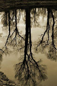 Sepia Cottonwood Reflection