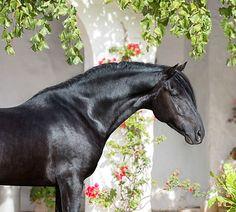 Pura Raza Menorquina, or Menorquin, stallion, Zahir. photo: Alexia Khruscheva.