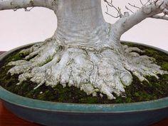 Beech tree bonsai, close up of the amazing trunk bole