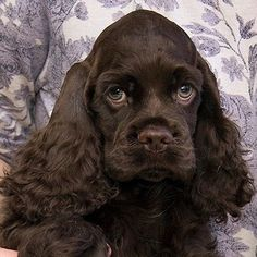 Awww. Chocolate Cocker Spaniel, Black Cocker Spaniel, American Cocker Spaniel, Cocker Spaniel Puppies, Teacup Puppies, Cute Puppies, Dogs And Puppies, Cute Dogs Breeds, Dog Breeds
