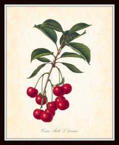 Antique Botanical Art Print French Fruit by BelleBotanica on Etsy, $10.00