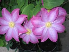 Asao Clematis. Planted 2014