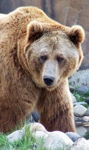 Montana Grizzly Encounter- Brutus eats 40 – 50 pounds of food per day.  In the fall as his appetite increases even more to 70 – 80 pounds per day as he puts on weight for the cold winter months ahead.