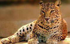 Wallpaper leopard, cat, predator, is