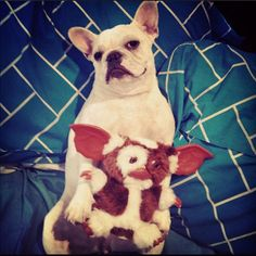 hmm, Gizmo would be a good name for a Frenchie @Luna Baluna