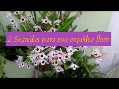 Como Fazer Sua ORQUIDEA dar Flor? 3 Dicas Fantásticas que Essas Flores Precisam Ter - YouTube