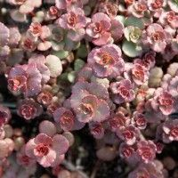 Voodoo Red Leaf Sedum (Sedum spurium Voodoo) is a showy, low-water groundcover with deep red, evergreen foliage and showy rose-pink summer flowers.