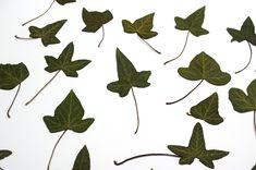 Card Making Supplies, Ivy Leaf, Woodland Wedding, Ranunculus, Dried Flowers, Autumn Leaves, Cardmaking, Fall Decor, Plant Leaves