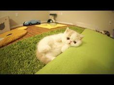 Kitten Barks Like A Dog? http://bigsuprises.com/view/687