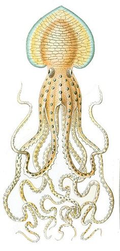 zoological illustrations ernst haeckel