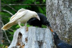 Wild for Wildlife and Nature~ Seeing a white raven is not something that happens every day even in areas where ravens are common. It is a very remarkable. This is one of two White Raven of Qualicum Bay, British Columbia, Canada The Crow, White Raven, Crows Ravens, Hamsters, Beautiful Birds, Beautiful Creatures, Pet Birds, Bald Eagle, Animal Pictures