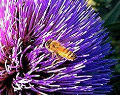 Artichoke Flower and Bee www.sweetheartartichokes.com