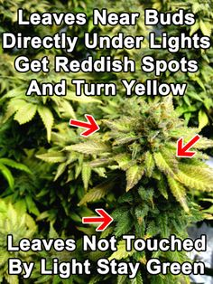 In the flowering stage, phosphorus deficiencies usually show up on leaves next to buds directly under lights.