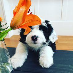 Mini sheepadoodle puppy @lifeofhuxley meets a lily
