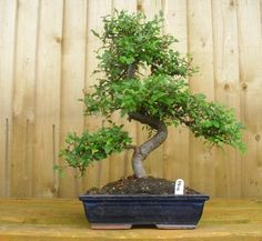 Chinese Elm Bonsai Tree 30cm Pot - ALL THINGS BONSAI