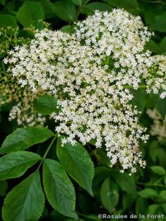 Plants In France: The Ultimate Guide to Elderberry Medicine - with recipes for syrups and anti-influenza tea