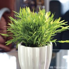 Bambou d'intérieur : plante Ø12cm pot