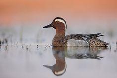 Cyranka Ducks, Birds, Animals, Animales, Animaux, Bird, Animais, Animal