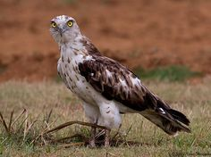 The Short-toed Snake Eagle (Circaetus gallicus), also known as short-toed eagle, is a medium-sized bird of prey in the family Accipitridae. The short toes that give the name This is an Old World species spread throughout the Mediterranean basin and into Russia and the Middle East, and into parts of Asia, mainly in the Indian Subcontinent and also further east in some Indonesian islands). Those present on the northern edge of the Mediterranean and other parts of Europe migrate mainly to…
