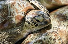 Bali Marine Police release sea turtles back to the sea - On Thursday Indonesia's Marine Police seized 45 sea turtles from an illegal poaching ship in Bali. Locals and tourists alike assisted police in returning the animals to their natural habitat.