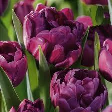 Tulip 'Blue Diamond' - purple, paeony-flowered tulip.