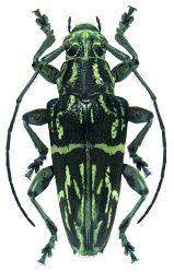 Trigonoptera